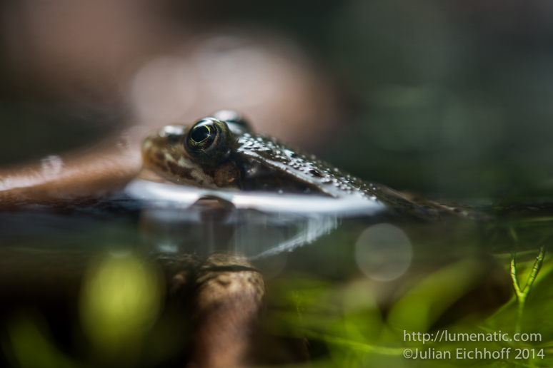 20140731-frogs-004